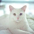White Cat Laying On Comfy Bed Print by by Dornveek Markkstyrn