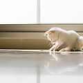 White Cat Playing On The Floor Print by Jose Torralba