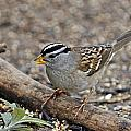 White Crowned Sparrow with Seeds Print by Laura Mountainspring