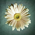 White Daisy Poster by Tamyra Ayles