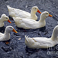 White ducks Print by Elena Elisseeva