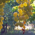White Grapes Poster by Barbara McMahon