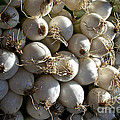 White Onions Print by Susan Herber