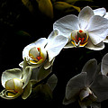 White orchid with dark background Poster by Jasna Buncic