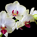 White Orchids Poster by Garry Gay