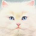 White Persian Poster by Andrew Farley