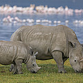 White Rhino Mother And Calf Grazing Print by Ingo Arndt