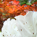 White Rhododendron Flowers Autumn Floral prints Print by Baslee Troutman Fine Art Prints