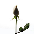White Rose with Shadow Poster by Zafer GUDER