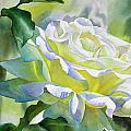 White Rose with Yellow Glow Print by Sharon Freeman
