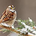 White Throated Sparrow Print by Alan Lenk
