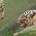 White tiger growling at her mate Print by Louise Heusinkveld