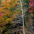 White Tree Fall Colors  Print by Rich Franco