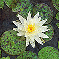 White Water Lily Poster by Andee Design