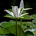 White Water Lily Print by Lisa  Spencer