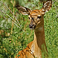Whitetail Doe Painterly Print by Ernie Echols