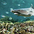 Whitetip Shark Over Coral Reef Print by Alexander Safonov