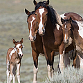 Wild Pinto Family Poster by Carol Walker