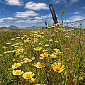 Wildflowers and Barbed Wire Poster by Peter Tellone