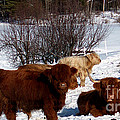 Winter Steer  Poster by The Kepharts