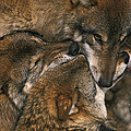 Wolf pack biting each others muzzles Poster by Intensivelight