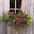 Wooden Shed With A Flower Box Under The Print by Michael Interisano