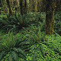 Woodland Rain Forest View With Mosses Poster by Melissa Farlow