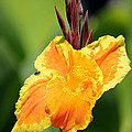 Yellow and Orange Canna Poster by Sarah Broadmeadow-Thomas