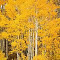 Yellow Aspens Print by Ron Dahlquist - Printscapes