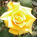 Yellow Rose At High Noon Print by Alys Caviness-Gober