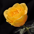 Yellow Rose On Black Background Poster by Déco'Style Balexia87
