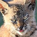 Young Bobcat 04 Print by Wingsdomain Art and Photography