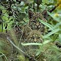 Young Bobcats Print by Michael S. Quinton