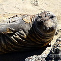 Young Elephant Seal Molting . 7D16091 Print by Wingsdomain Art and Photography