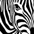 Zebra Poster by Ron Magnes