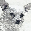 Zipper the Chihuahua Poster by Jayne Logan Intveld