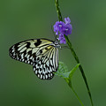 Butterfly on Flower  Poster by Sandy Keeton