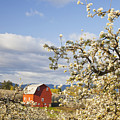 Apple Blossom Trees And A Red Barn In Print by Craig Tuttle