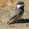 Baby Chickadee Poster by Naman Imagery