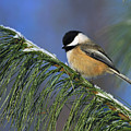 Black-Capped Chickadee Poster by Tony Beck