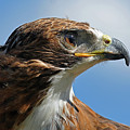 Red-tailed Hawk Print by Alan Lenk