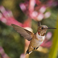 Allen's Hummingbird Poster by Mike Herdering