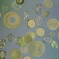 Close View Of Diatoms Poster by Darlyne A. Murawski
