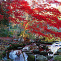A Japanese Maple With Colorful, Red Print by Darlyne A. Murawski