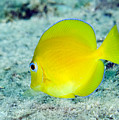 A Juvenile Blue Tang Searching Print by Terry Moore