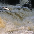 A Leaping Salmon In The Ballysadare Poster by Paul Nicklen