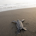 A Leatherback Sea Turtle Hatchling Poster by Joel Sartore