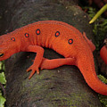 A Red Eft Crawls On The Forest Floor Poster by George Grall