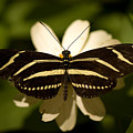 A Zebra-winged Butterfly At The Lincoln Poster by Joel Sartore