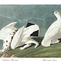 American Ptarmigan Print by John James Audubon
